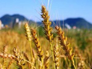 もち麦,効果,便秘